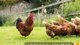 جفتگیری مرغ و خروس در خانه