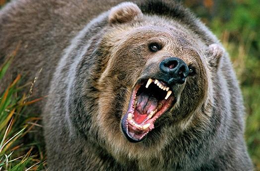 جنگ خرس های گریزلی با یکدیگر