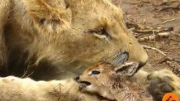 رفتار تعجب انگیز شیر مادر با نوزاد آهو