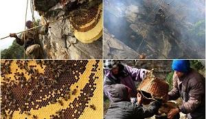 شکار باستانی عسل از لانه زنبورها در نپال !