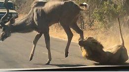 شکار گوزن توسط شیر مقابل چشم توریستها +فیلم