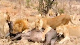 شکار گروهی بوفالو توسط شیرها در حیات وحش