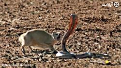 جنگ مانگوس با کبرا