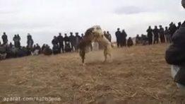 جنگ و نبرد خونین بین سگ های وحشی