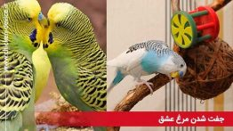 جفت-شدن-مرغ-عشق