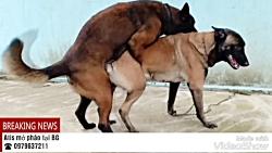 جفت گیری سگ