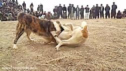 جنگ و نبرد خونین سگ های وحشی برای مسابقه آدم های بی عاطفه