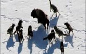 حمله ۲۵ گرگ وحشی به گاومیشهای آمریکایی فیلم