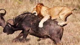 ده صحنه برتر شکار در حیات وحش فیلم