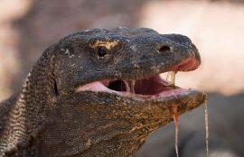 شکار بیرحمانه آهو توسط اژدهای کومودو فیلم