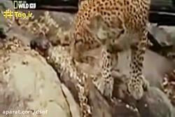 شکار توله پلنگ توسط مار و انتقام پلنگ مادر
