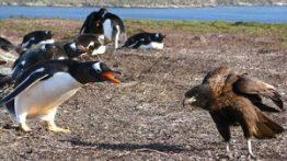 فیلم حمله عقاب کاراکارا به جوجههای پنگوئن