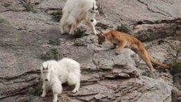 فیلم حمله پوما به بز کوهی و نبرد با شکار