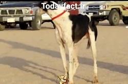 قوی ترین سگ های عربی