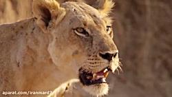 مستند حیات وحش و شکار حیوانات درنده در حیات وحش