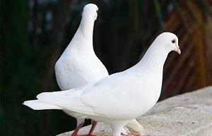 جفت گیری کبوتر و فصل جفت گيري كبوتر +18