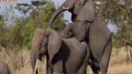 کلیپ جفتگیری فیل ها فیلم جفت گیری فیلها در حیات وحش