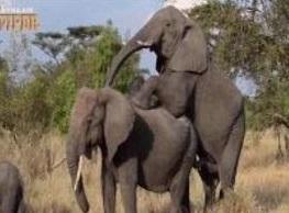 کلیپ جفت گیری فیل ها / فیلم جفت گیری فیل ها در حیات وحش
