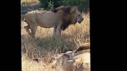 ناله حیات وحش از کشته شدن شیر ماده جوان توسط سه شیر نر غول پیکر