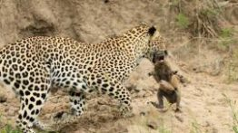 Leopard-catches-baby-warthog-270×174