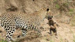 Leopard-catches-baby-warthog-270×174
