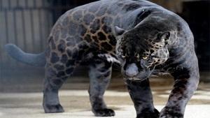 حاصل جفتگیری جگوار و شیر (جگلاین) گربه بینظیر