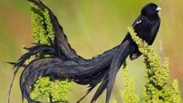 widow bird, جفت گیری حیوانات, دنیای پرندگان, مرغ بیوه