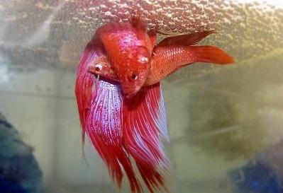 آموزش تکثیر و جفت گیری ماهی فایتر در خانه با آسان ترین روش