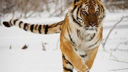 ببر سیبری بزرگترین و قدرتمندترین شکارچی خشکی فیلم