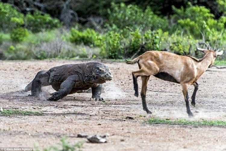 تعقیب و شکار گوزن توسط اژدهای کومودو | فیلم