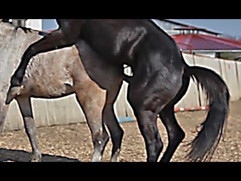 جفتگیری اسب و خر