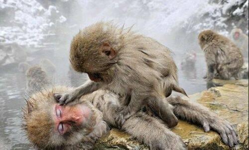 جفتگیری میمون ها