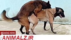 جفت-گیری-سگ