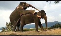 جفت گیری فیل