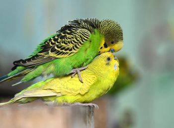 نحوه جفت گیری مرغ عشق / آموزش جفت شدن مرغ عشق