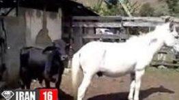جفت گیری گاو با اسب ماده سفید در مزرعه