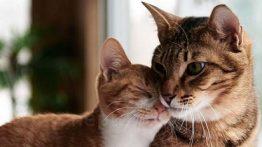 جفت-گیری-گربه