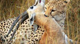حمله بابونها به یوزپلنگ برای نجات آهو فیلم