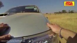 حمله حیوانات وحشی به وسایل نقلیه و انسانها