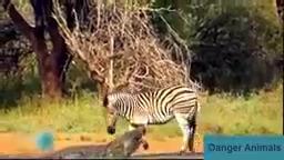 حمله حیوانات وحشی - ( تمساح,شیر,فیل,ببر ) حوادث وحشتناک