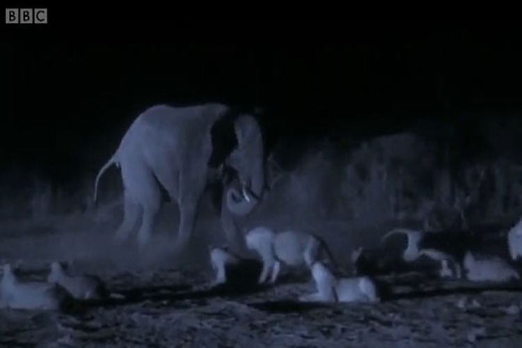 حمله شبانه ۳۰ شیر گرسنه به گله فیلها و شکار یک گوساله | فیلم