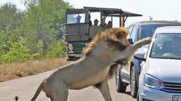 حمله شیر نر به خودروی گردشگران فیلم