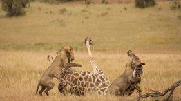 حمله هماهنگ ۵ شیر به زرافه عظیمالجثه فیلم