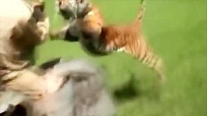 حیات وحش، حمله دیدنی ببر به انسان و حیوانات