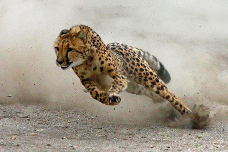 خیز سرعتی چیتا برای شکار آنتلوپ | فیلم