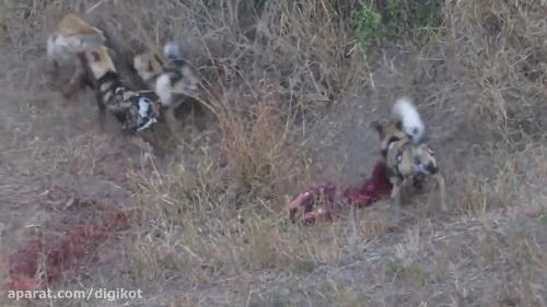 زنده خواری وحشتناک آهو توسط سگ های وحشی و کفتار