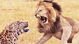 شکار حیوانات توسط شیرها در حیات وحش