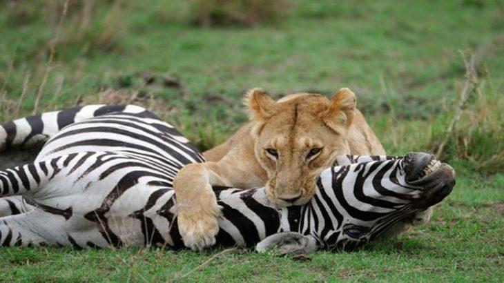 شکار ماهرانه گورخر توسط شیرهای ماده فیلم