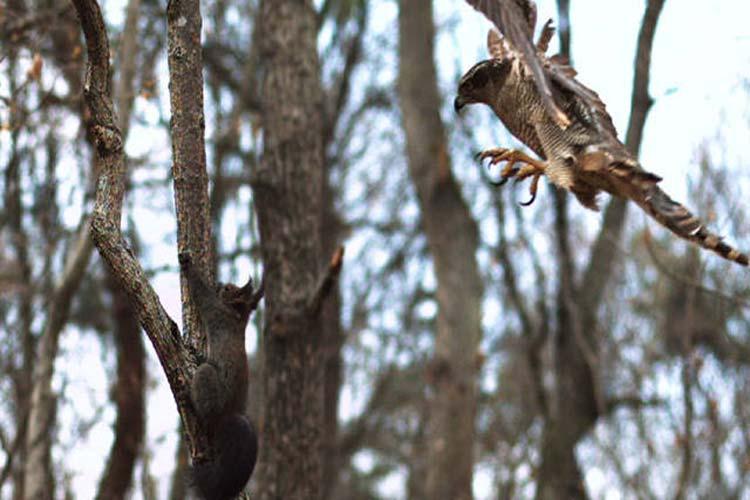 شکار پر دردسر سنجاب توسط شاهین | فیلم