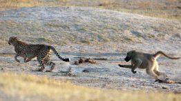عاقبت ورود یوزپلنگ به محدوده بابونها فیلم